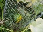 CagedPumpkin