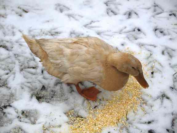 Muddy duck.