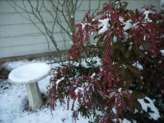 Japanese pieris adds winter interest.