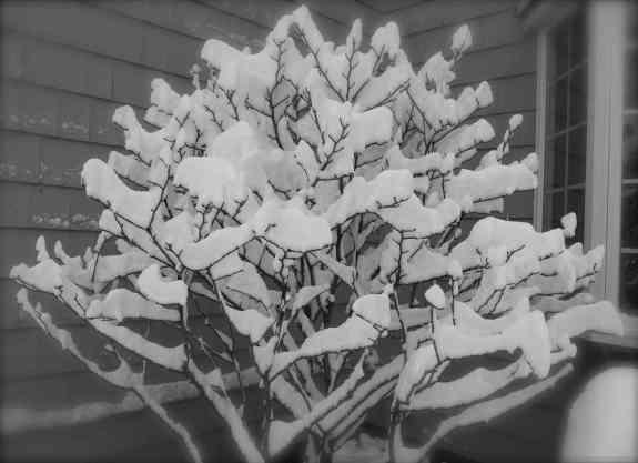 Haunted magnolia.