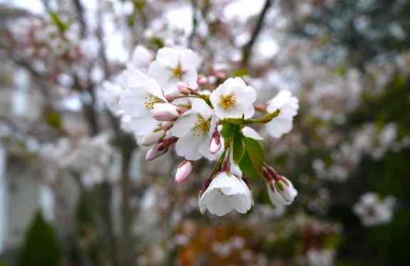 CherryBlossomed