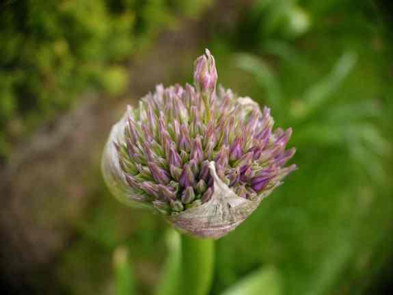 Allium3