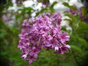 LilacBloom
