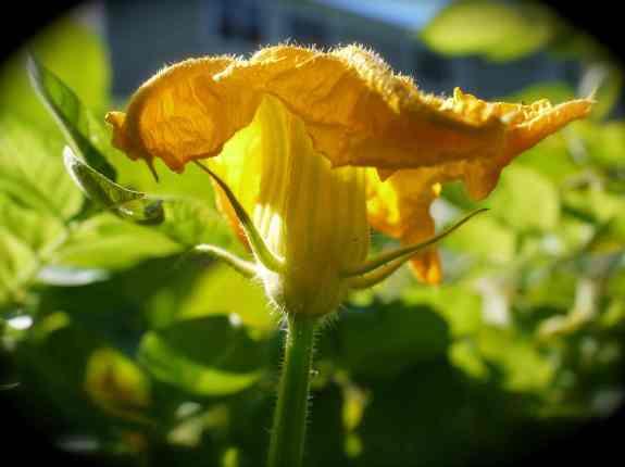 PumpkinBlossom