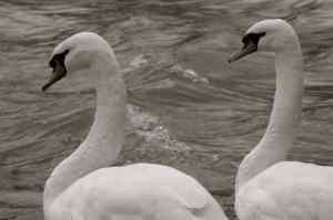 SwanPair