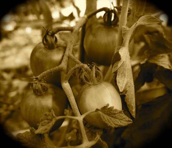 SepiaTomatoes