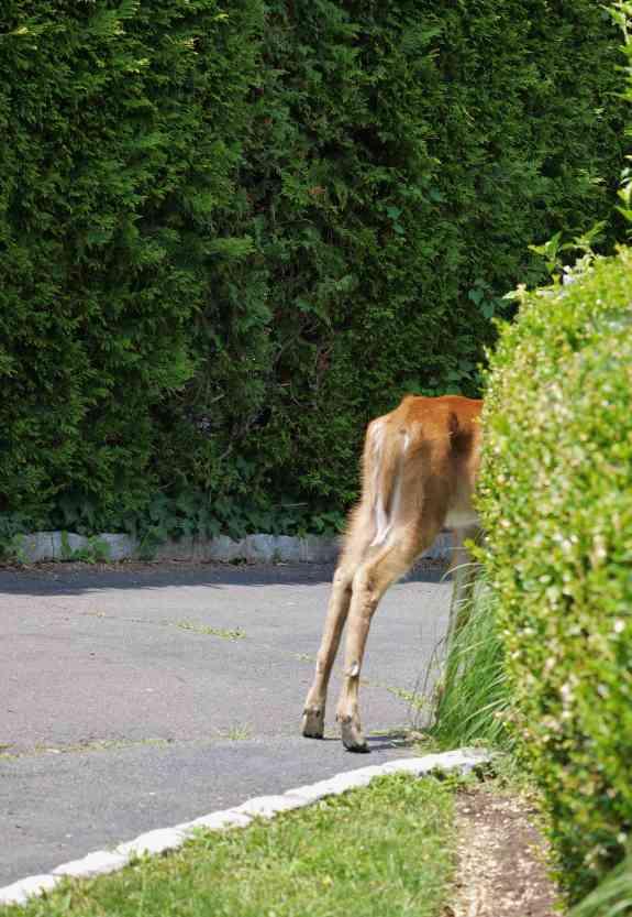 DeerButt