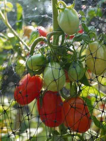 RedGrapeTomatoes