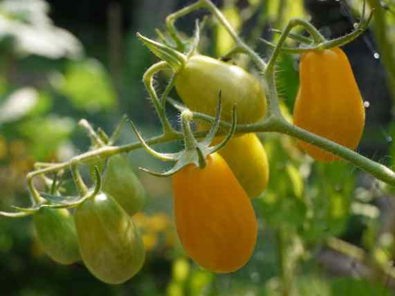 YellowGrapeTomatoes