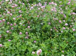Clover along the riverbank