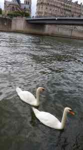 SeineSwans