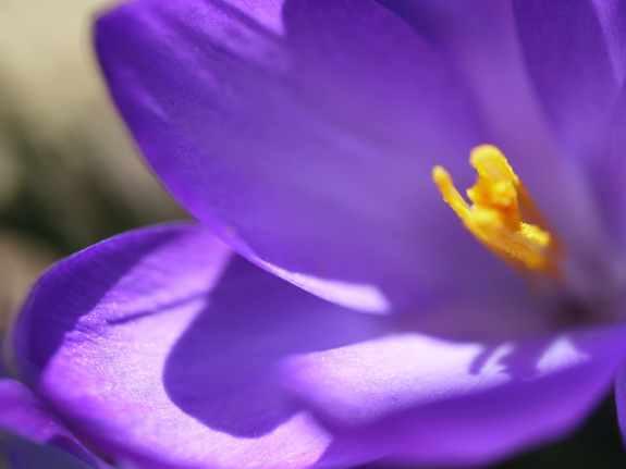 XCU Purple Crocus