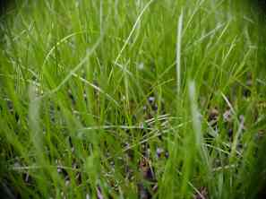 Cover crop: rye