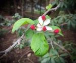 Crabapple blossom (1)