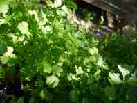 Volunteer cilantro