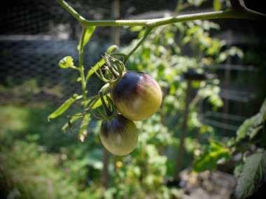 Indigo Kumquat tomatoes